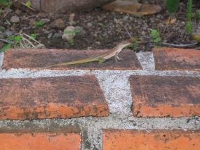 Anolis à crête sur le muret d'une jardinière