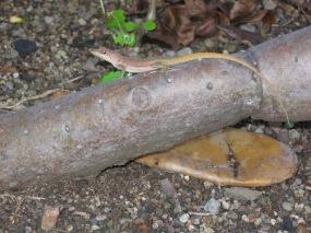 Anolis à crête sur un tronc de figuier de barabarie