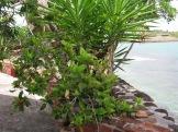 Hibiscus et yuccas